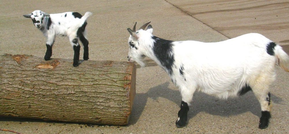 goats at farmyard corner